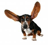 a basset hound with long flying ears poster