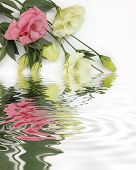 pink and cream white lisianthus flowers with water reflection poster