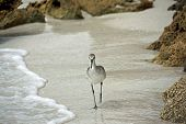 a shore bird strolling at the water's edge poster