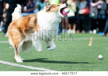Collie Dog Running