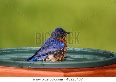 Eastern Bluebird Beating The Heat