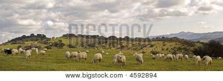Sheep's