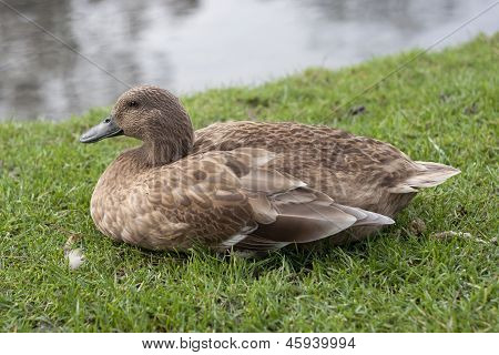 Cute Mallard Female Duck Bird
