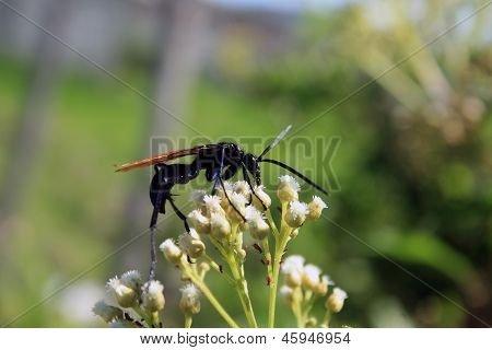 Tarantula Hawk Spider Wasp on Flower
