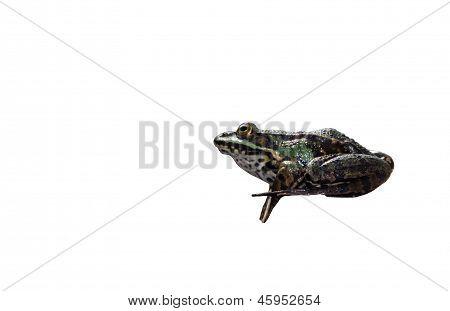 Tree frog isolated