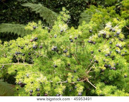 Madeira Juniper