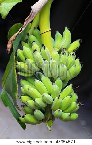 a branch of bananas