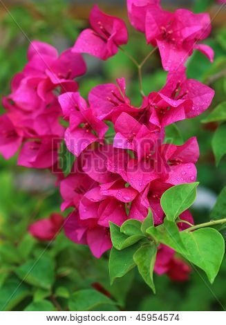 pink flowers and green foliage