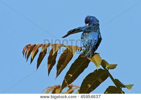 Indigo Bunting Preening Feathers