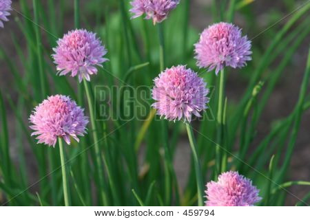 Chives2