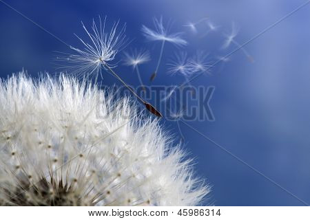 Dandelion with seeds blowing away in the wind across a blue sky