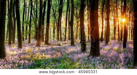 Bluebell Wood Sunrise