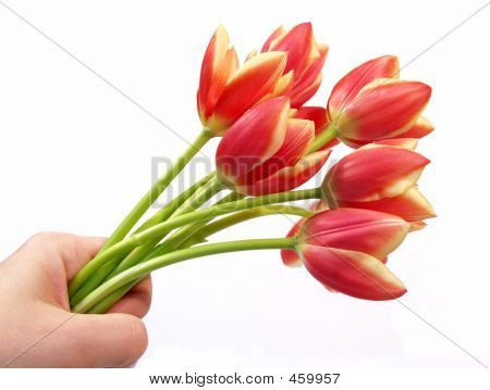 Tulips In Hand