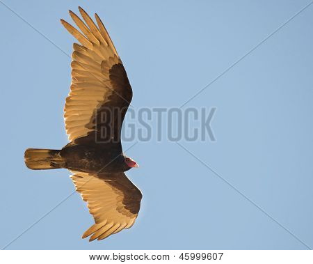 Trukey Vulture Soars Across An Empty Sky