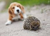 Cute beagle puppy amazed with little hedgehog poster