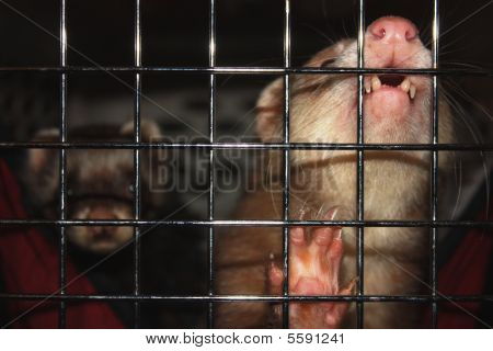 Ferrets in a carrier.