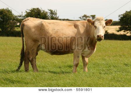 irish beef cattle