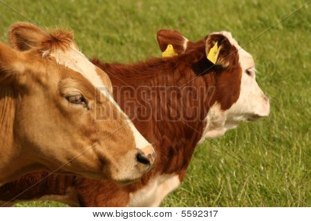 mother cow and daughter