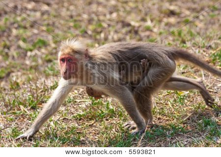 Bonnet macaque mother and baby running in Bandipur National Park India. poster