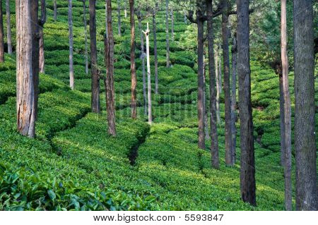Tea garden with trees in Tamil Nadu India. poster