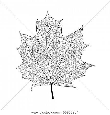 Leaf skeleton on white background