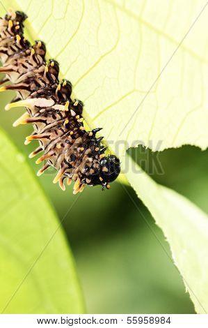 Brown Caterpillars Eat The Leaves