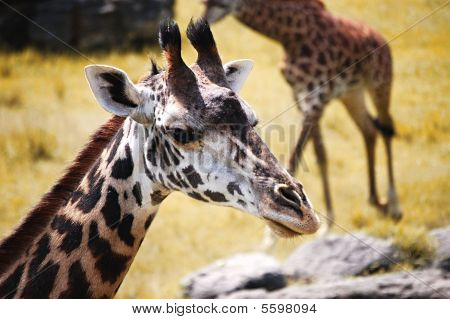 An up close image of a giraffe looking at the camera. poster