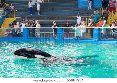 MIAMI,US - DECEMBER 8,2013:Lolita,the killer whale at the Miami Seaquarium.Founded in 1955,the oldest oceanarium in the United States,the facility receives over 500,000 visitors annually