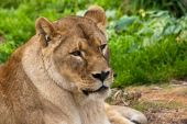 Closeup portrait of a lioness resting in the Zoo. poster