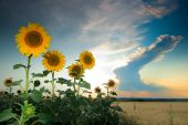 A field of sunflowers under sky with clouds poster