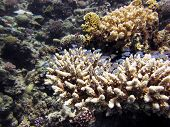 Small blue green damsels on acropora corals poster