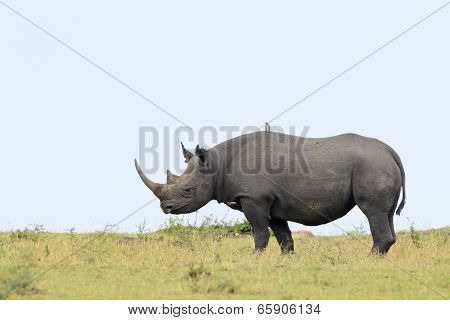 Black rhino on grass.