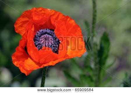 Red Poppy In Spring