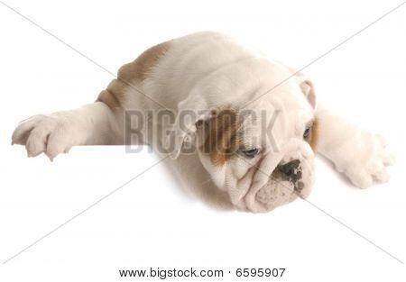_dsc3725 Bulldog Puppy Over White Foreground