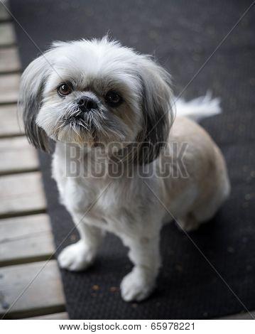 Cute, Little Shih Tzu Puppy Looks Up Into Camera