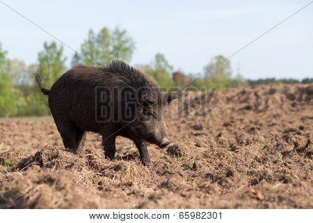 Wild Boar Searching Food On Field