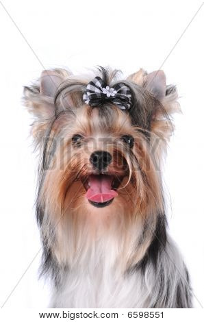 Portrait of yorkshire terrier black and white color (biver york) isolated on white poster