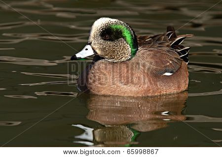 Wigeon Drake Swimming