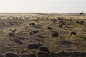 Large herd of sheep on a dry grass landscape on the Alentejo Region on Portugal. poster