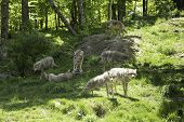 A pack of howling coyotes in a forest environment poster
