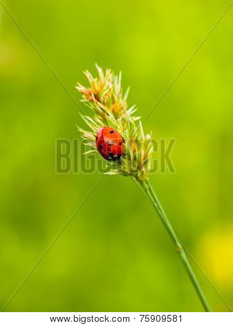 Ladybug on a culm in front of a soft green background
