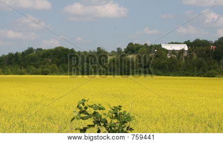 Canola Field And  Barn