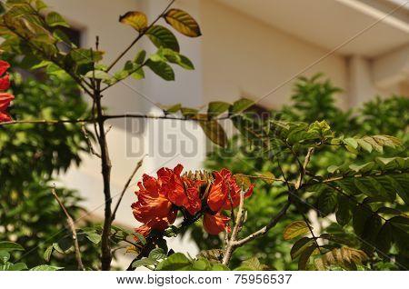 Fountain tree (Spathodea campanulata)