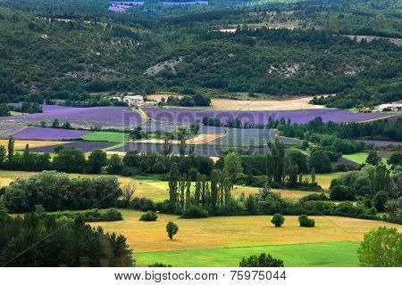 Blooming Field Of Lavender, Provence-alpes-cote D'azur, Southern France, France, Europe
