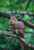 Eurasian red squirrel in forest reserve Krasnoyarsk pillars, Russia poster