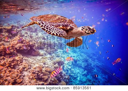 Hawksbill Turtle - Eretmochelys imbricata floats under water. Maldives - Ocean coral reef.