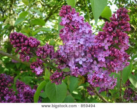 lilac tree flowers