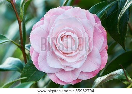 Flower Of Camellia