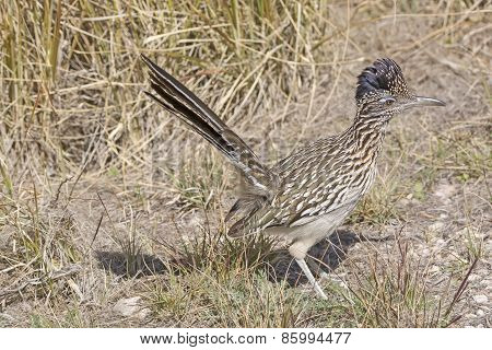 Road Runner In The Grasslands