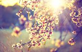 Spring blossom background. Beautiful nature scene with blooming tree and sun flare. Sunny day. Spring flowers. Beautiful Orchard. Abstract blurred background. Springtime poster